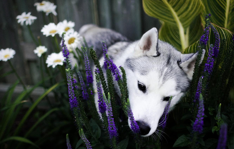 Photo wallpaper flowers, dog, garden, nose, puppy, flowerbed, husky, sniffing, Siberian husky