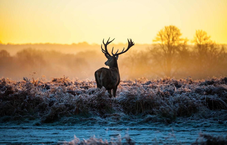 Photo wallpaper frost, grass, nature, dawn, deer