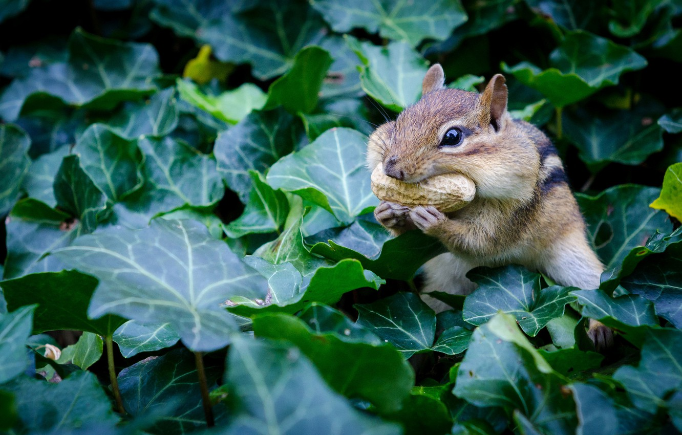 Photo wallpaper leaves, Chipmunk, rodent, peanuts