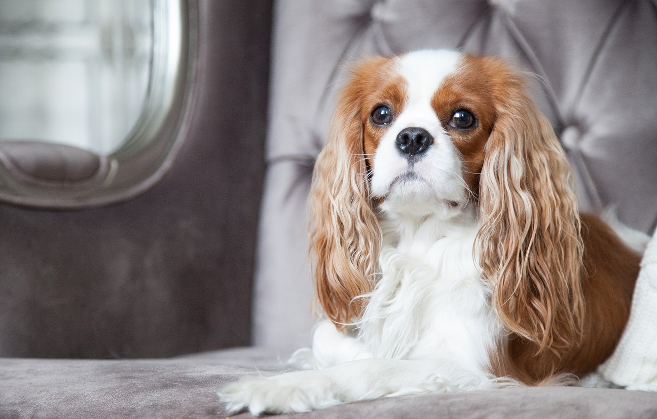 Wallpaper Dog Chic The Cavalier King Charles Spaniel Images For