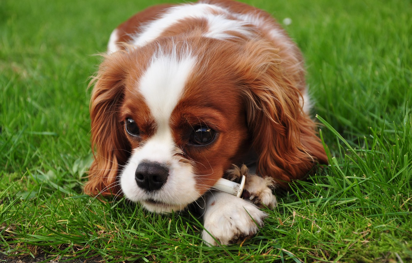 Photo wallpaper animals, dogs, grass, eyes, look, dog, puppy, king Charles Spaniel