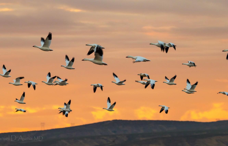 Photo wallpaper The SKY, FLIGHT, PACK, BIRDS, SWANS, GEESE
