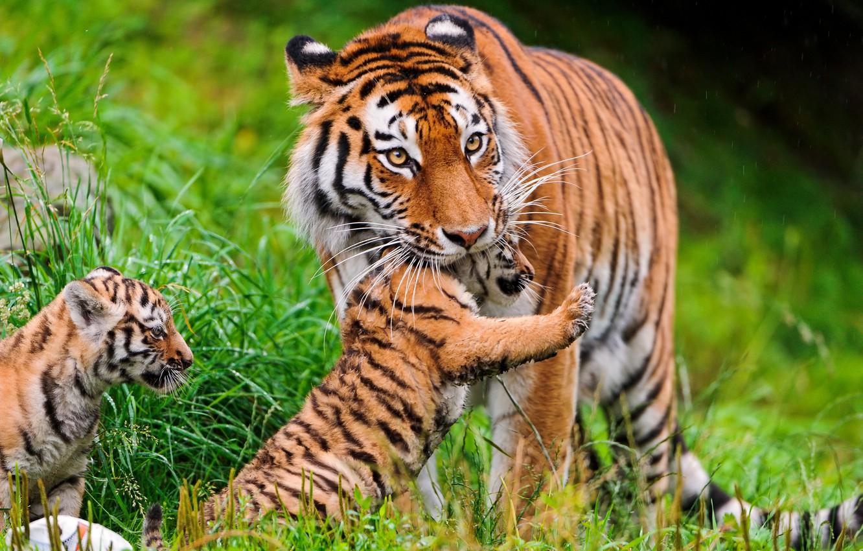 Photo wallpaper grass, cats, tigers, tiger, family, Amur, ©Tambako The Jaguar