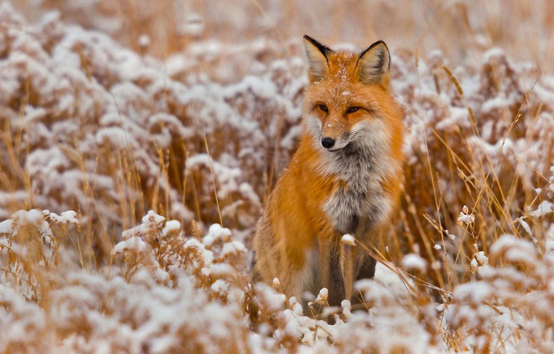 Photo wallpaper winter, snow, animal, Fox