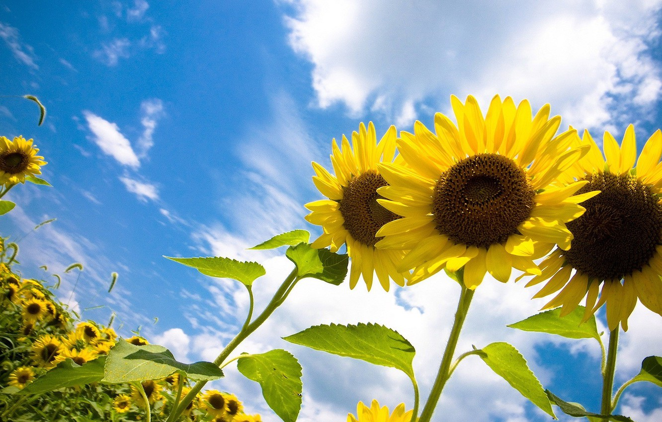 Photo wallpaper the sky, the sun, clouds, joy, sunflowers