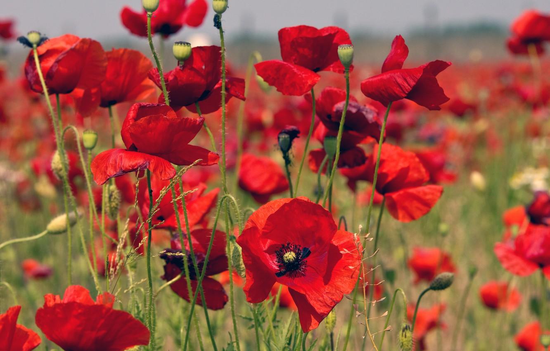 Photo wallpaper field, grass, nature, Maki, petals, meadow