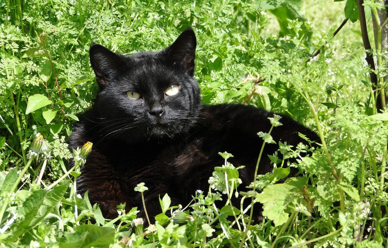 Photo wallpaper summer, grass, cat, noon, Akela White