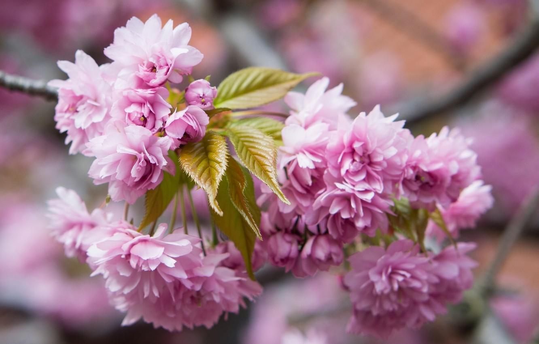 Photo wallpaper macro, flowers, branch, Sakura, flowering
