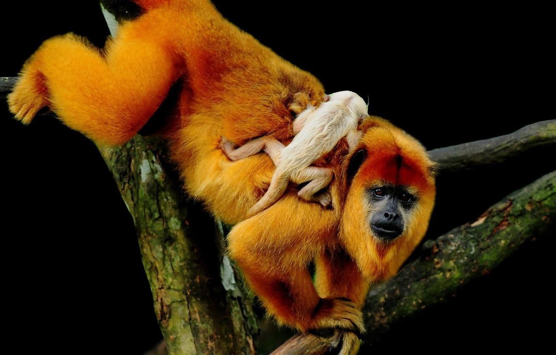 Photo wallpaper branch, baby, monkey, cub