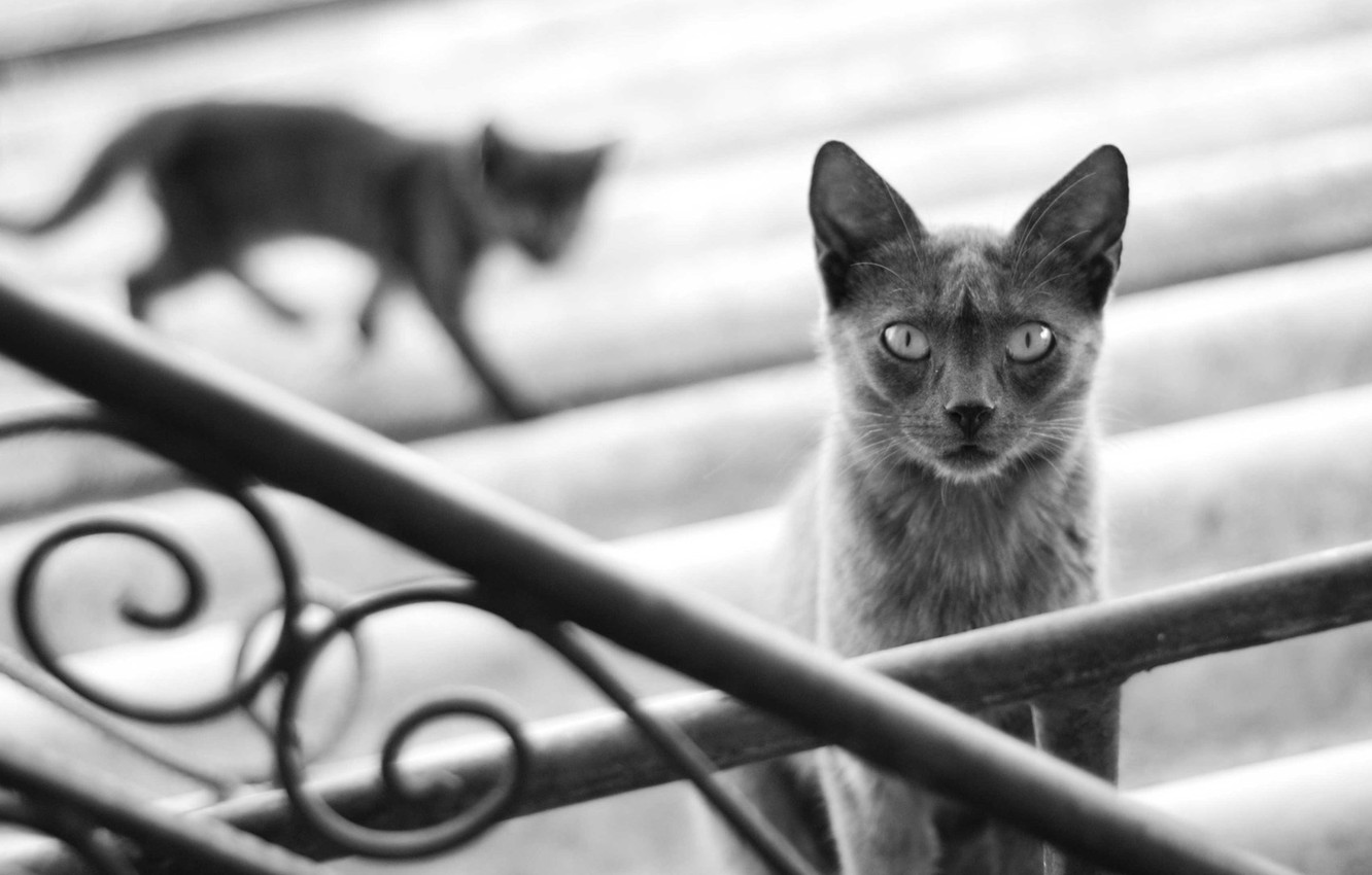 Photo wallpaper cat, cat, kitty, grey, shadow, blur, silhouette, railings, stage, black and white, cat