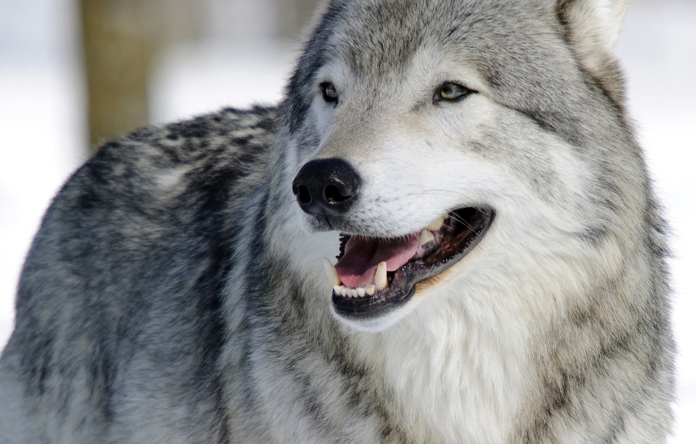 Photo wallpaper face, wolf, portrait, predator