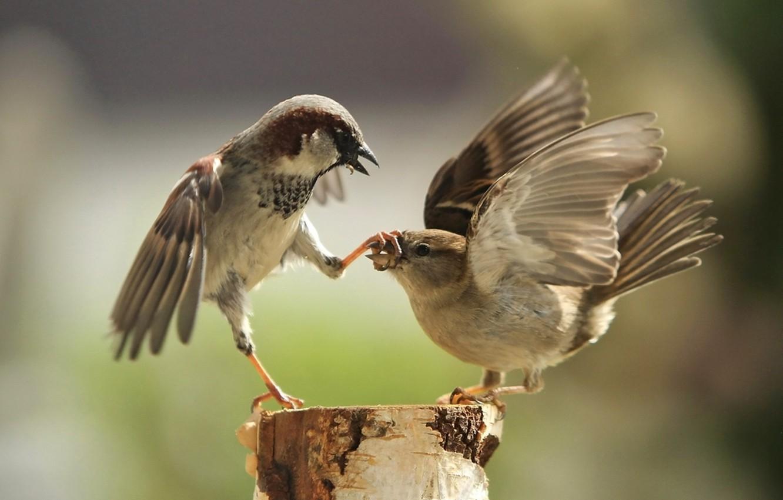 Photo wallpaper paws, beak, sparrows