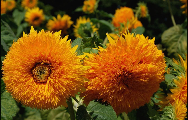 Photo wallpaper field, macro, sunflower, petals