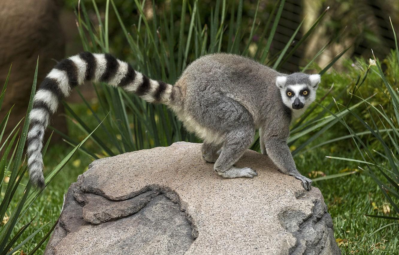 Photo wallpaper grass, look, stone, tail, lemur, striped