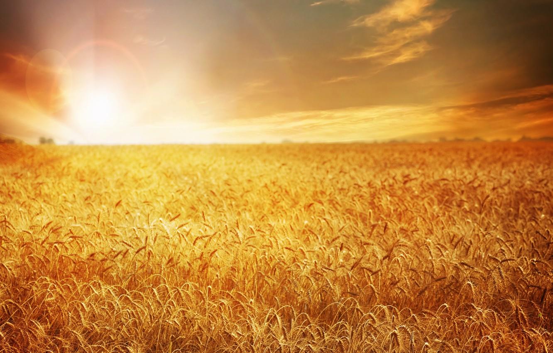 Photo wallpaper wheat, field, sunset, nature, field, nature, sunset, wheat