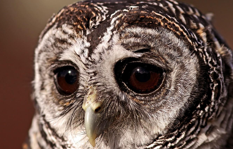 Photo wallpaper eyes, owl, Bird, a sad look, sovushka, owl