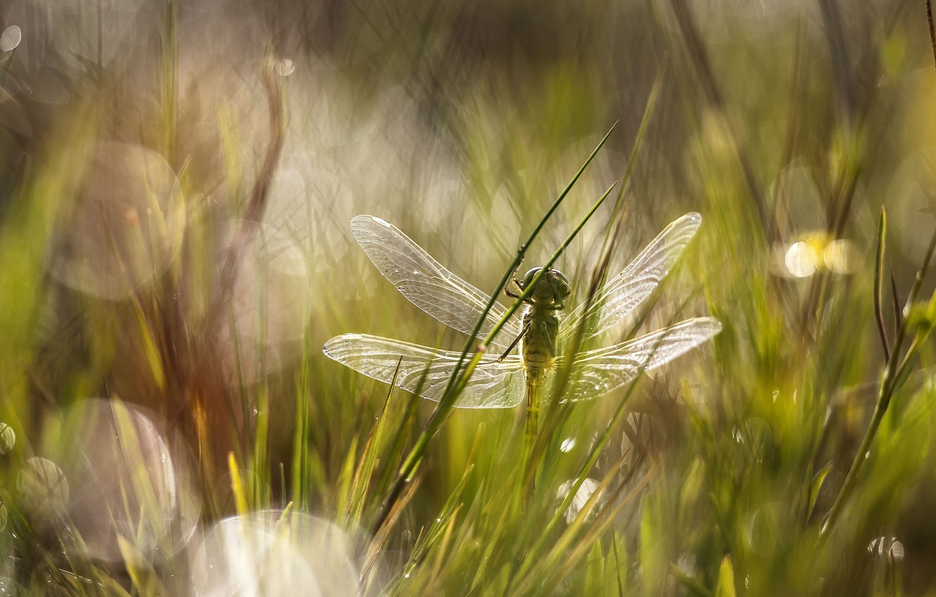 Photo wallpaper grass, glare, dragonfly, meadow