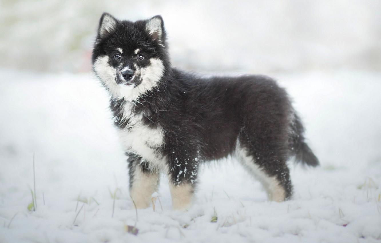Photo wallpaper winter, dog, puppy, Finnish, Lapp, Laplander husky, Finnish lapphund