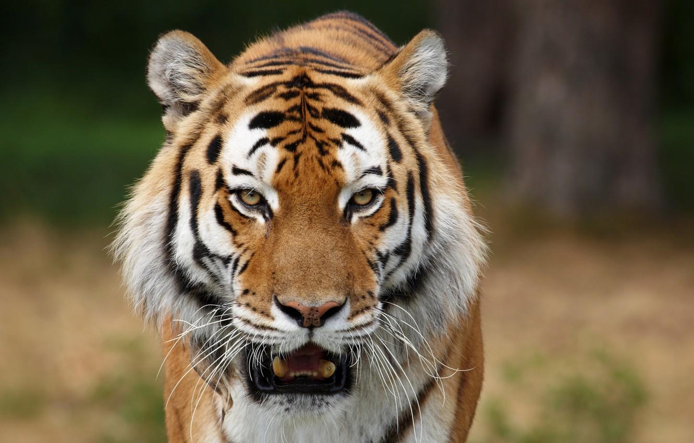 Photo wallpaper predators, wild cats, Siberian tigers, animal photos