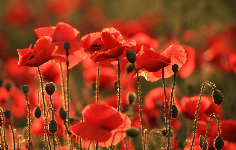 Photo wallpaper flowers, Maki, Taman