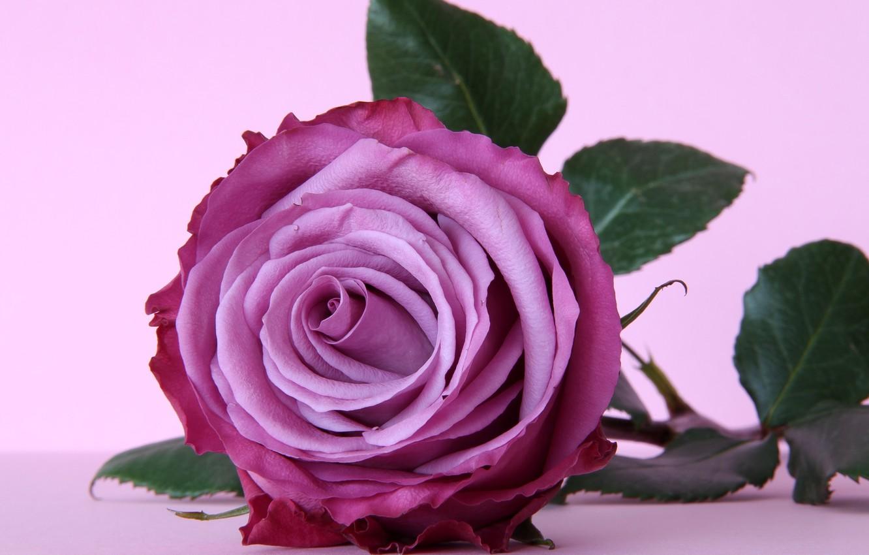Photo wallpaper flower, purple, rose, rose, flower, purple, violet
