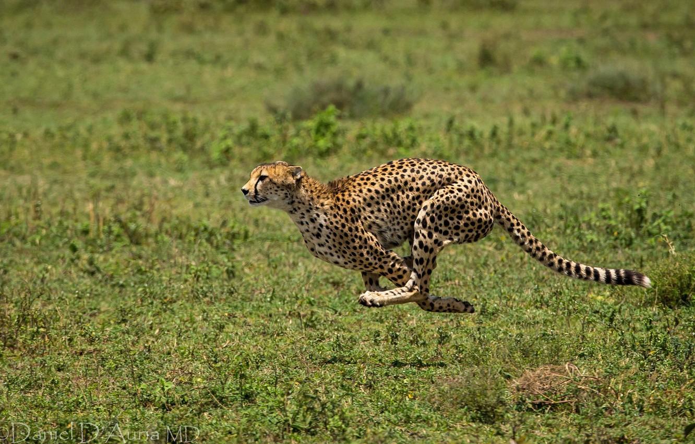 Photo wallpaper animal, running, spot, Cheetah, runs