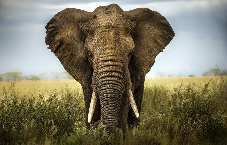 Photo wallpaper africa, elephant, savannah, ivory