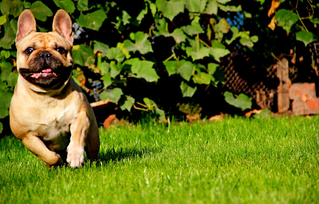 Photo wallpaper language, grass, face, the sun, runs, French bulldog, fawn