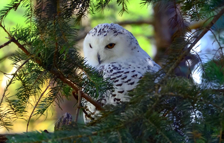 Photo wallpaper branches, tree, bird, snowy owl
