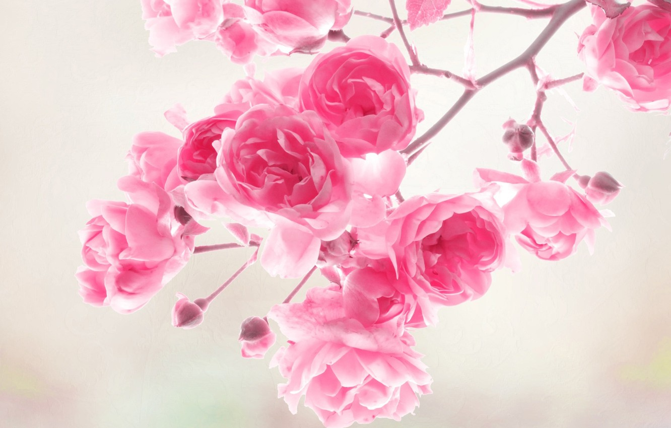 Photo wallpaper flowers, roses, pink, flowers, roses