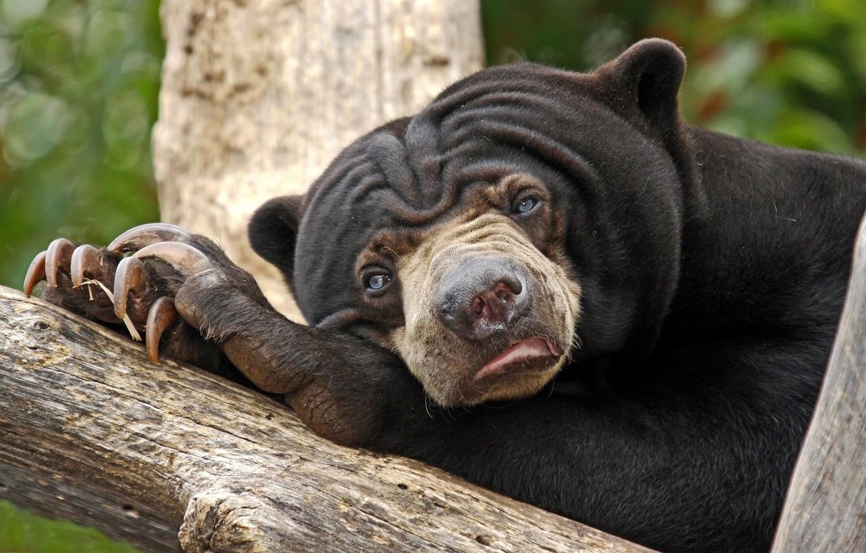Photo wallpaper eyes, bear, blue, sad, sloth