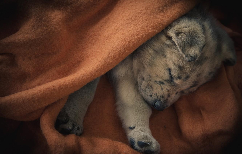 Photo wallpaper sleep, dog, puppy, plaid, sleeping puppy