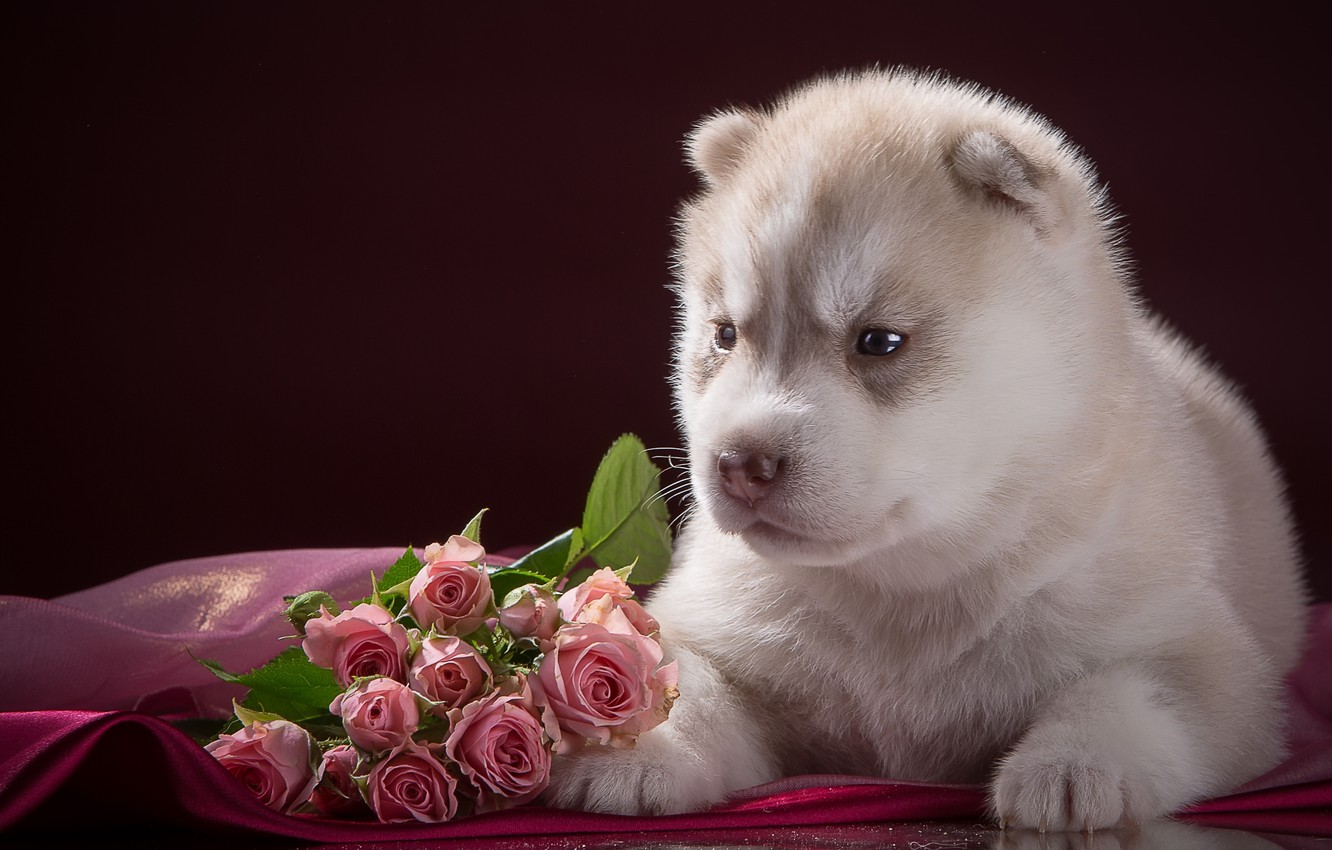 Photo wallpaper roses, baby, puppy, husky, breed