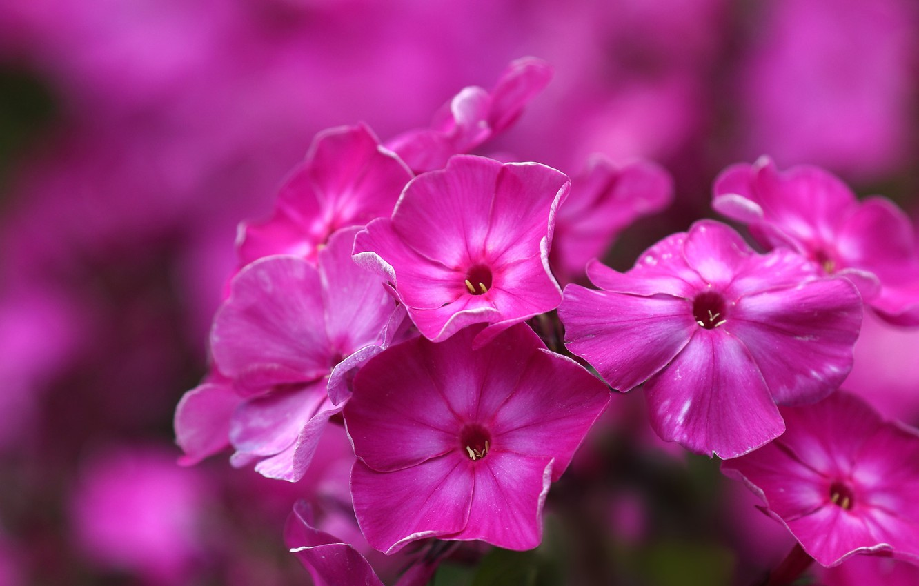 Photo wallpaper macro, background, Phlox