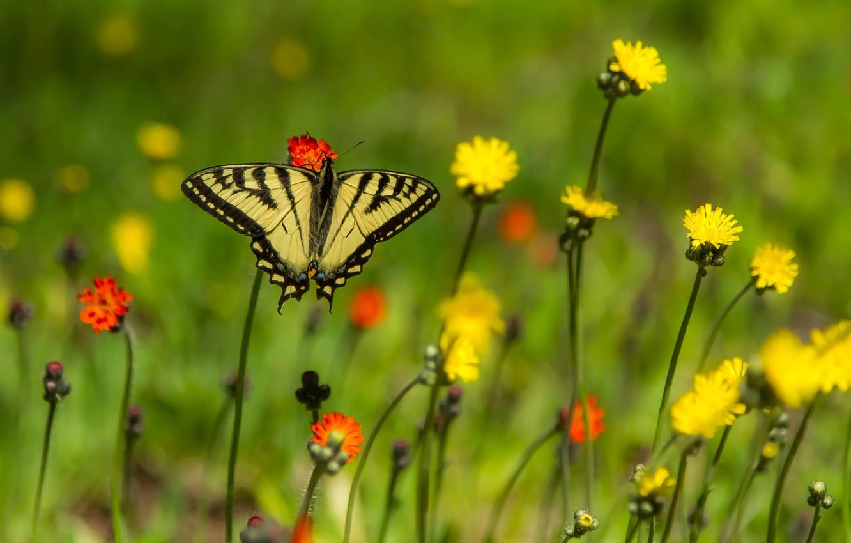 Photo wallpaper flowers, butterfly, bokeh, Papilio Glaucus
