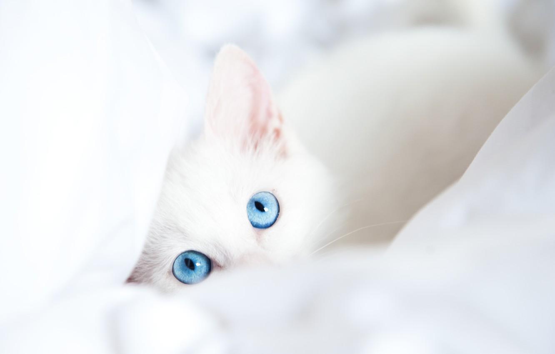Photo wallpaper white, cat, look, blanket, blue eyes