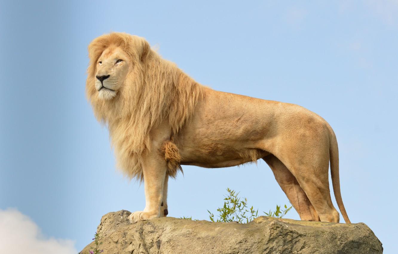 Photo wallpaper cat, the sky, look, stone, predator, Leo, mane