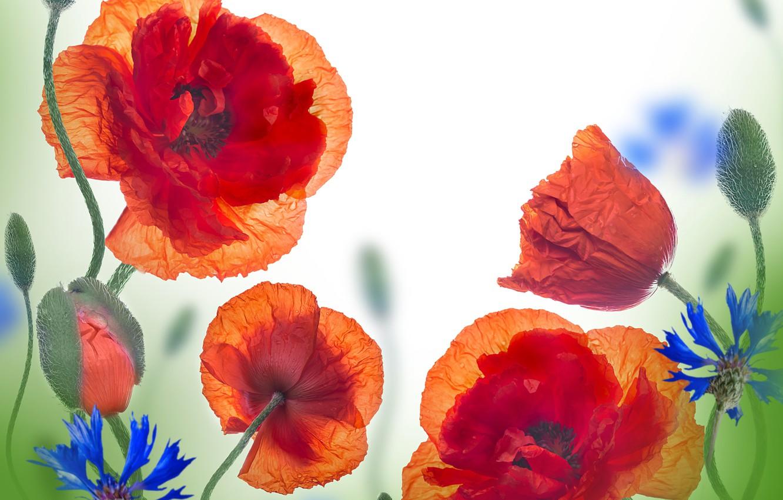 Photo wallpaper flowers, Maki, flowers, wildflowers, cornflowers, poppies, cornflowers, wild flowers