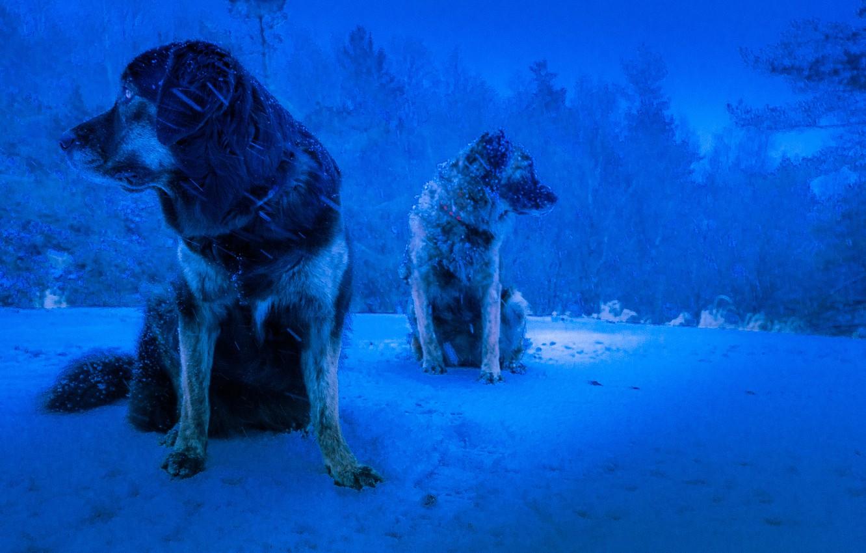 Photo wallpaper winter, dogs, background, Blizzard