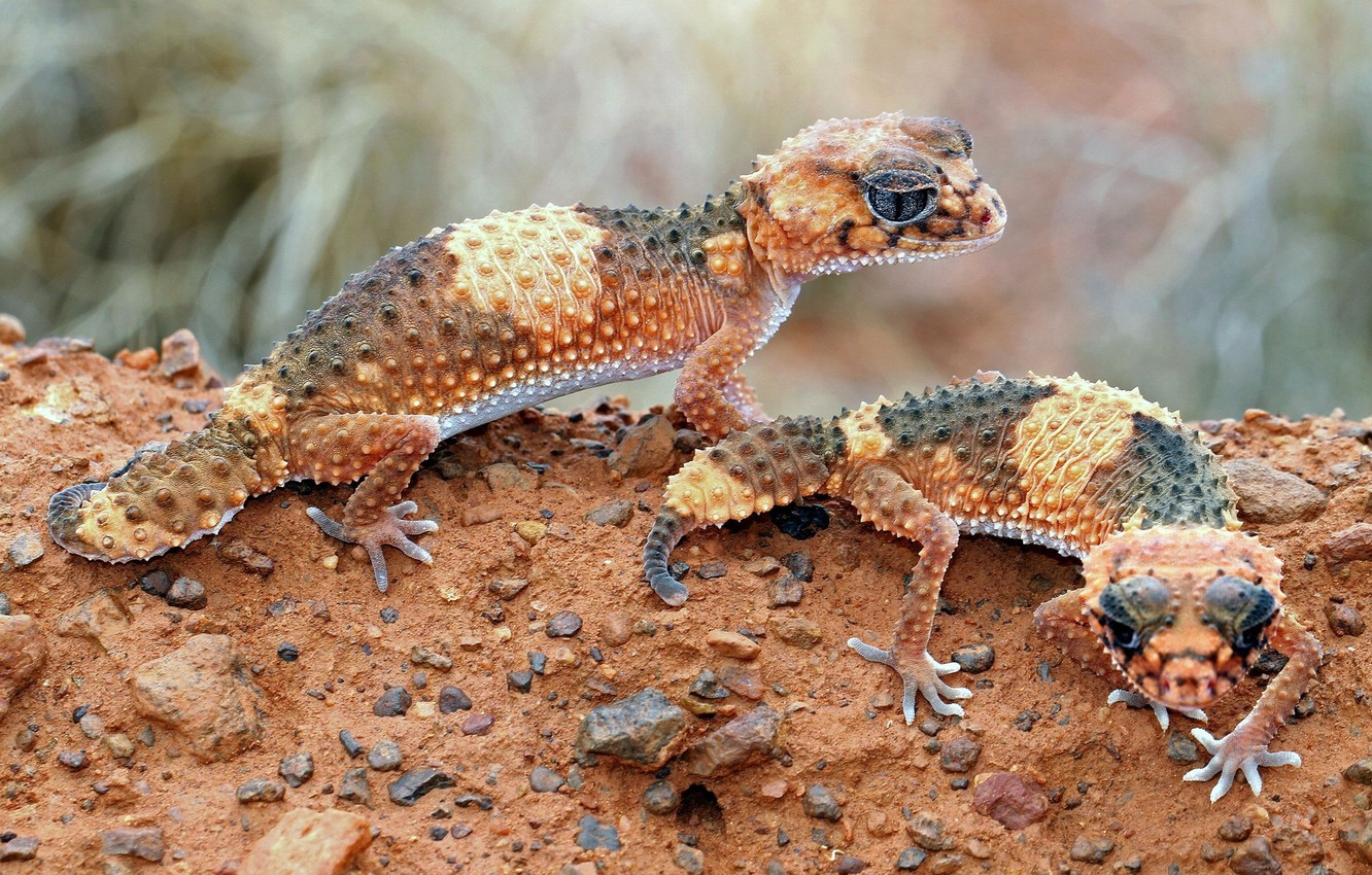 Photo wallpaper brown, lizards, cold-blooded