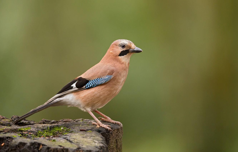 Photo wallpaper bird, Jay, wildlife