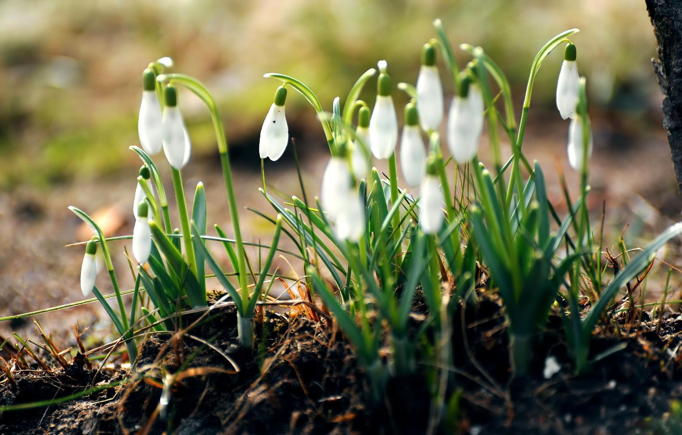 Photo wallpaper forest, grass, macro, flowers, nature, earth, spring, snowdrops, white, primroses
