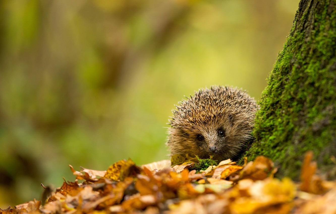 Wallpaper Autumn Leaves Tree Animal Foliage Moss Yellow Hedgehog Images For Desktop Section Zhivotnye Download