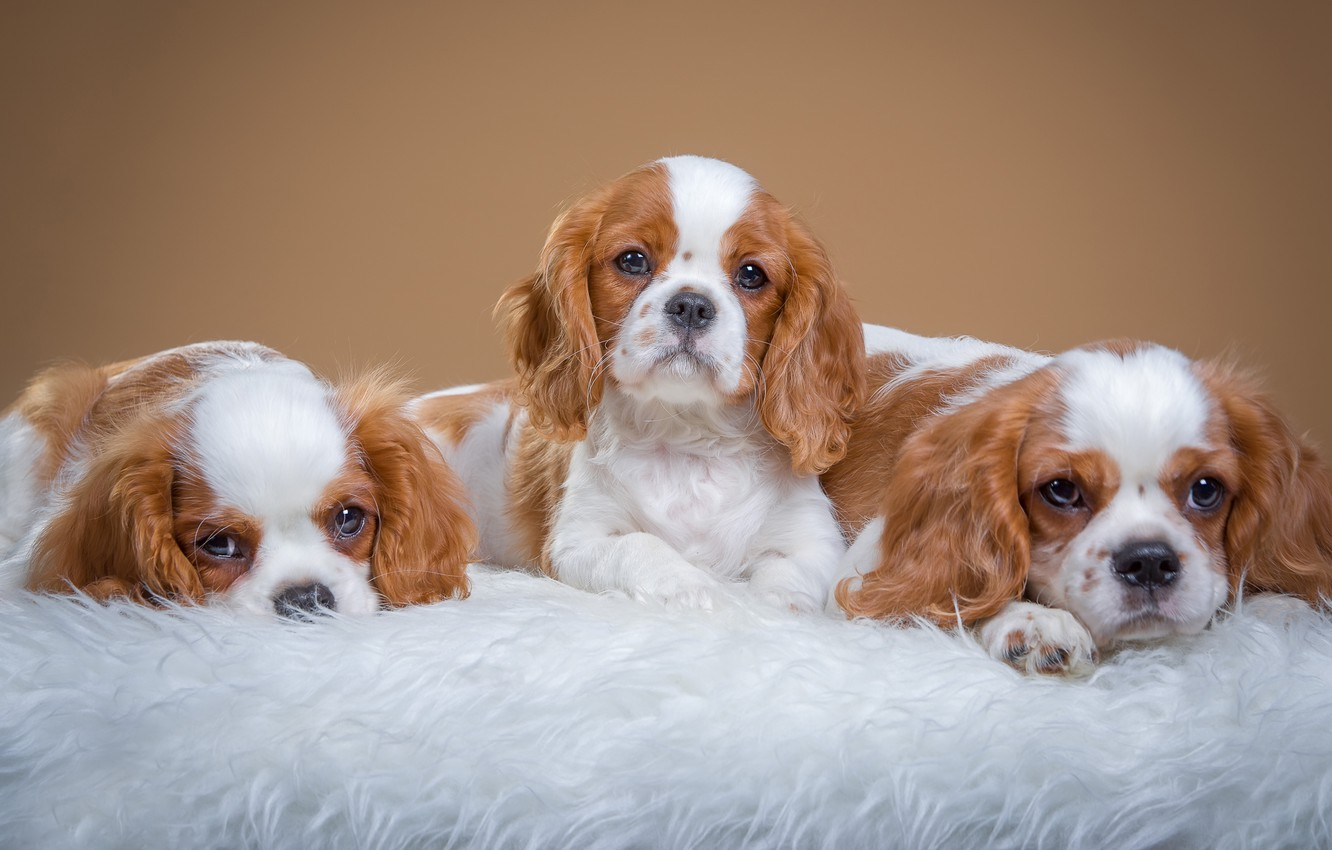 Photo wallpaper dogs, background, puppies, fur, photoshoot, lie, faces, Trinity, the cavalier king Charles Spaniel, mils