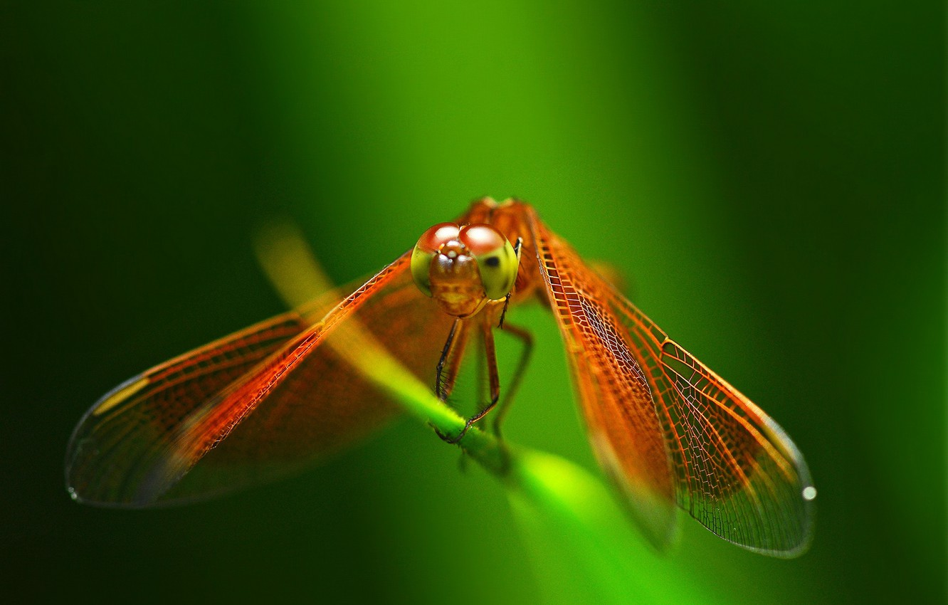 Photo wallpaper dragonfly, insect, red, a blade of grass