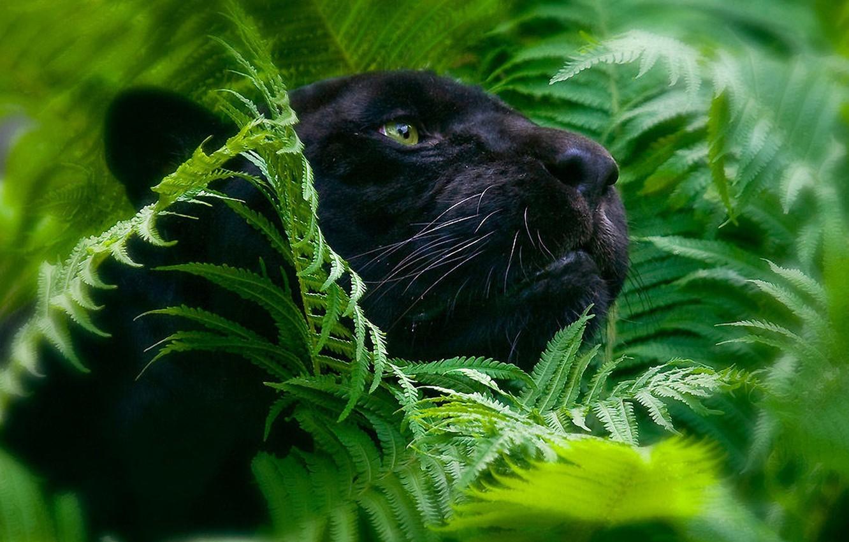Photo wallpaper foliage, Panther, big cats