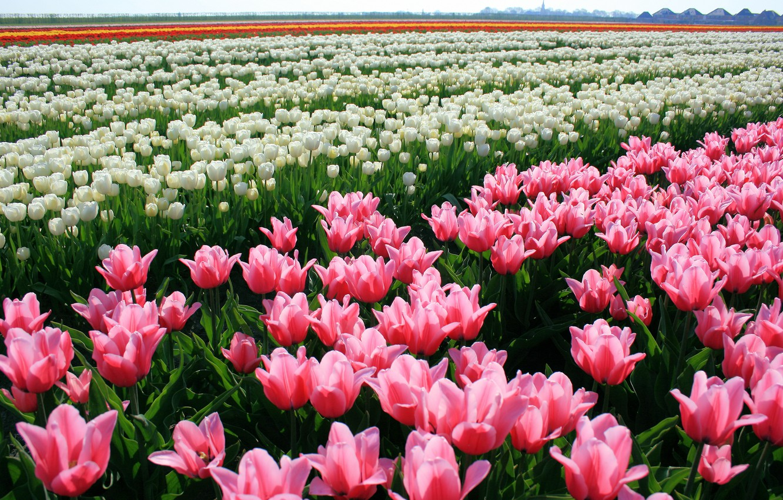 Photo wallpaper flowers, nature, tulips, buds, tulips, plantation