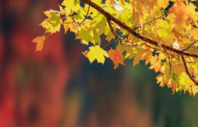 Photo wallpaper autumn, leaves, background, branch, maple, bokeh