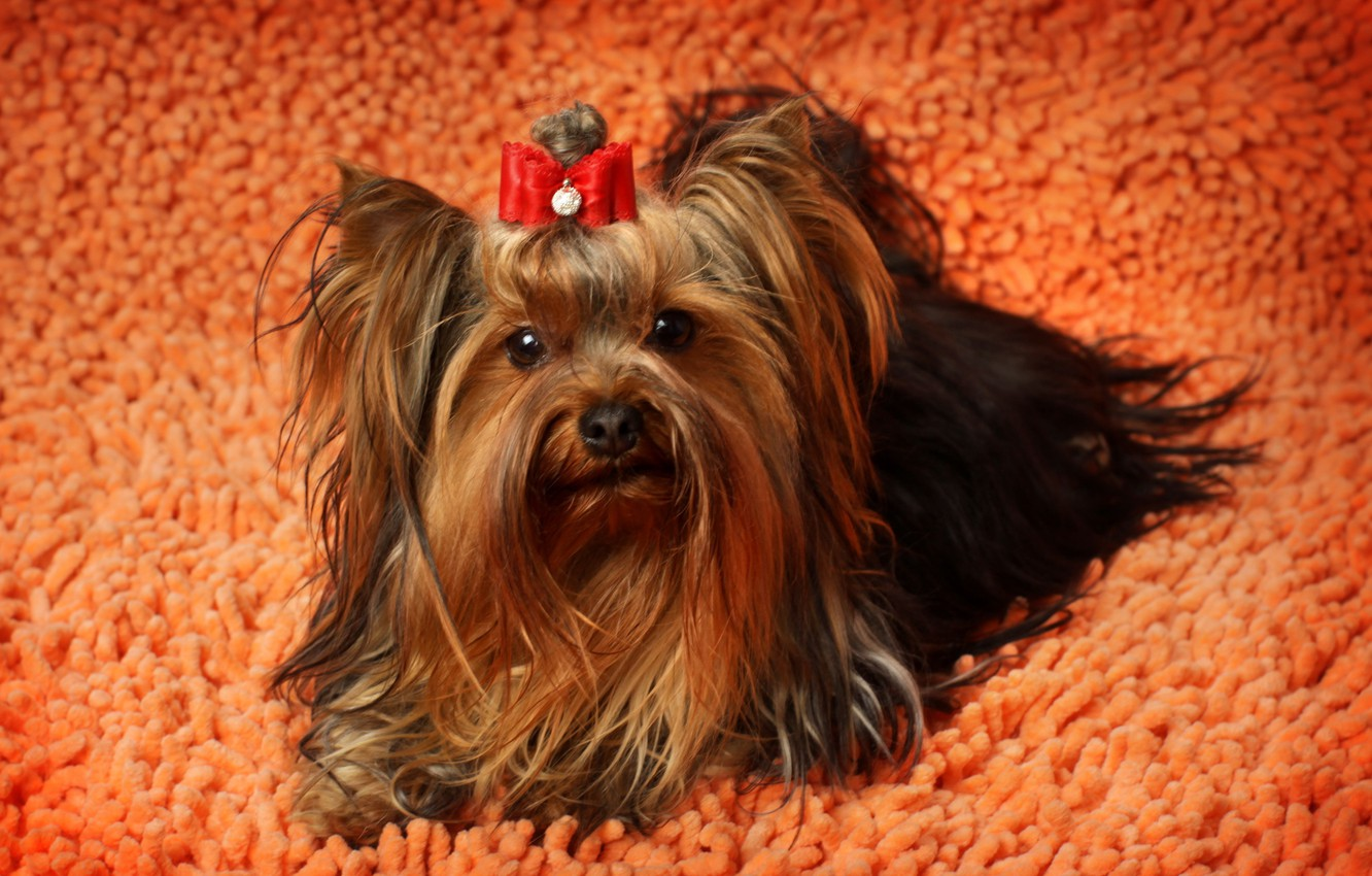 Photo wallpaper animals, photo, dog, Yorkshire Terrier