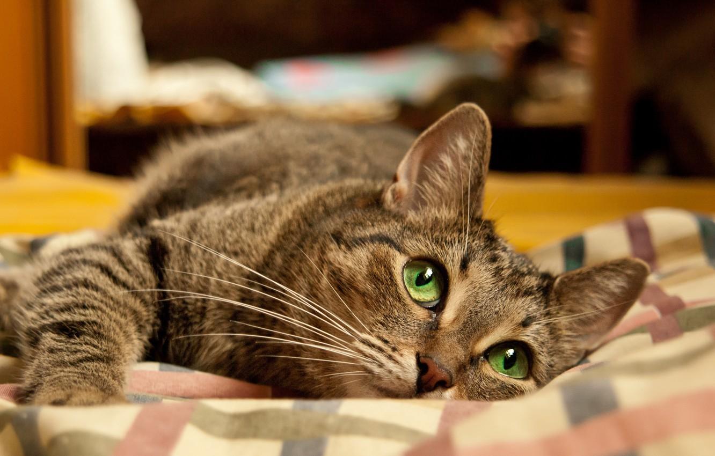 Photo wallpaper cat, Wallpaper, bed, Lies